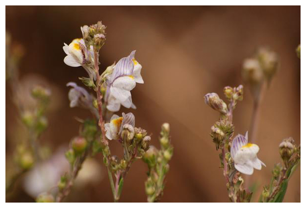 foto's, Gestreepte leeuwenbek (Linaria repens), plant