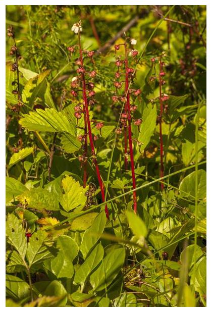foto's, Rond wintergroen (Pyrola rotundifolia)