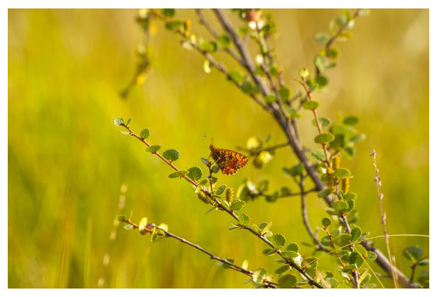 foto's, Dwergberk (Betula nana), struik