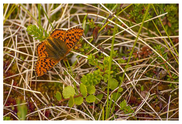 foto's, Veenbesparelmoervlinder (Boloria aquilonaris), vlinder