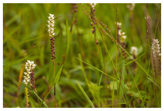 foto's, Knolduizendknoop of levendbarende duizendknoop (Polygonum viviparum), plant