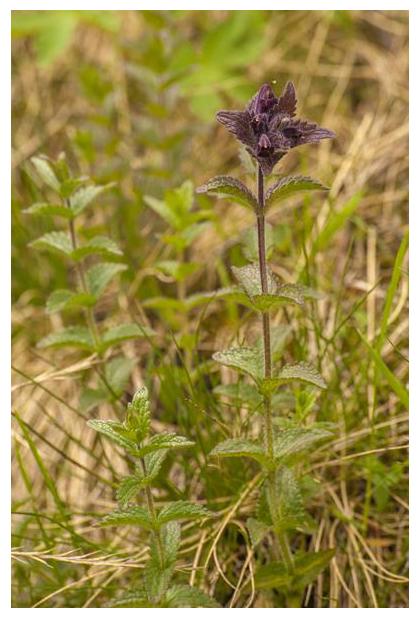 foto´s, Alpenhelm (Bartsia alpina), plant