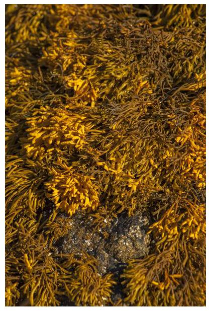 foto's, Groefwier (Pelvetia canaliculata), wier