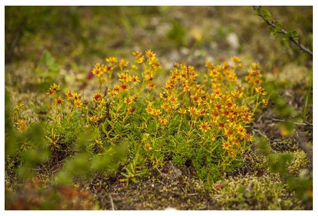 foto's, gele bergsteenbreek (Saxifraga aizoides), plant rots, Noorwegen