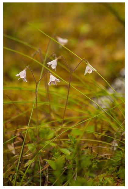 foto, Linnaeusklokje (Linnaea borealis), plant
