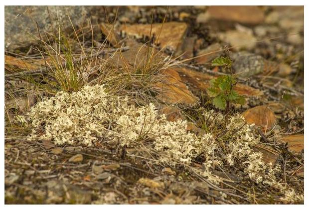 foto´s, Cetraria nivalis, korstmos
