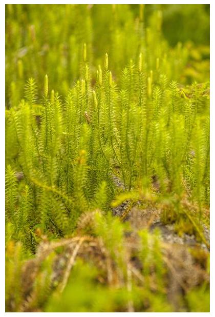 foto, Grote wolfsklauw (Lycopodium clavatum), plant
