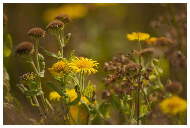 foto's, Heelblaadjes (Pulicaria dysenterica), plant