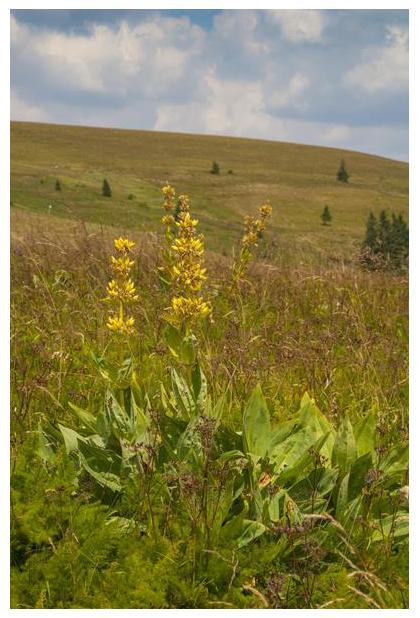 foto, Grote gele gentiaan of Gele gentiaan (Gentiana lutea), plant