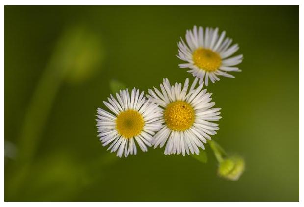 foto's, Zomerfijnstraal (Erigeron annuus), bloem