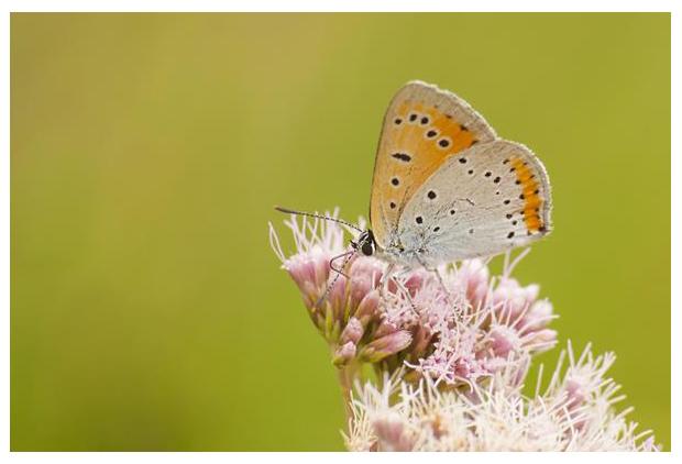 foto´s, Grote vuurvlinder (Lycaena dispar), vlinder