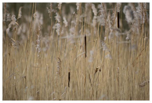 foto's, Kleine lisdodde (Typha angustifolia), waterplant