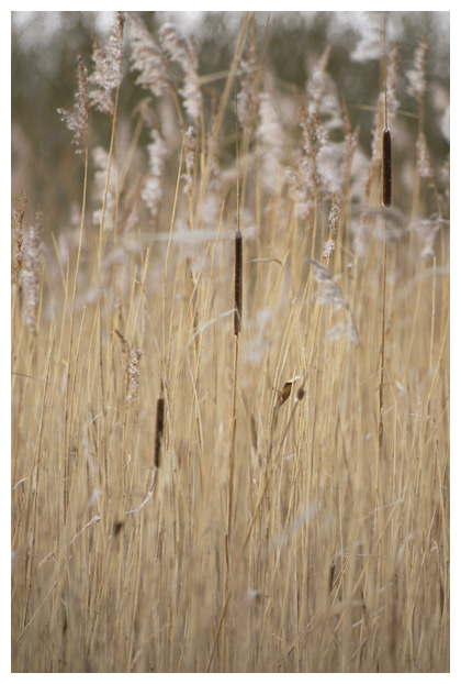 foto's, Kleine lisdodde (Typha angustifolia), oeverplant