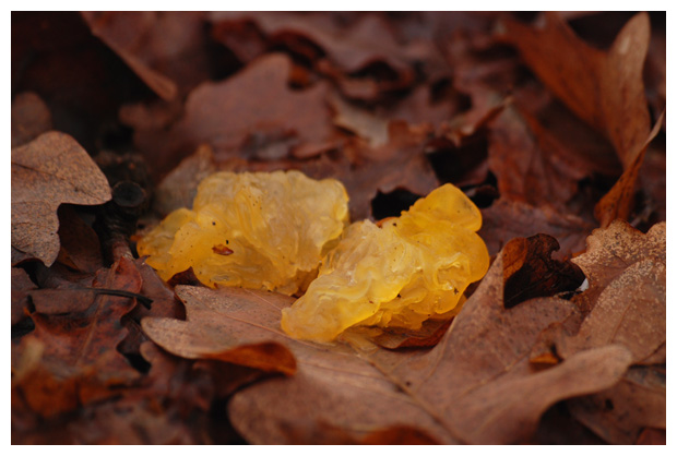 gele trilzwam (tremella mesenterica)