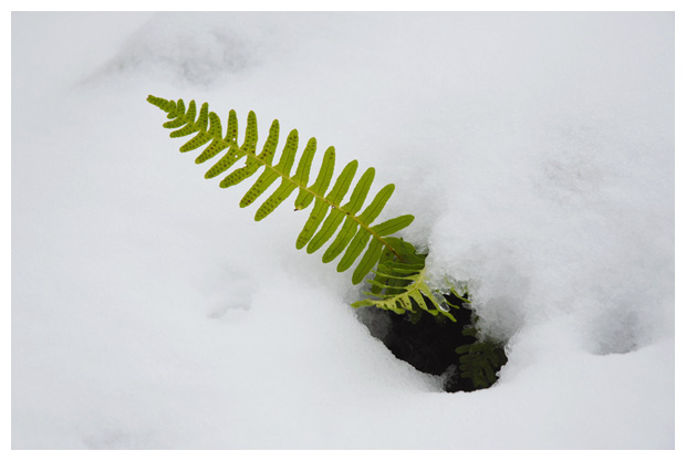 Gewone eikvaren (Polypodium vulgare)