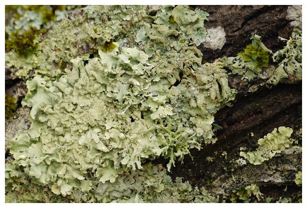 foto´s, Rijpschildmos (Punctelia ulophylla), korstmos