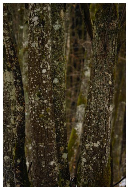 foto's, Beuk (Fagus sylvatica), bast