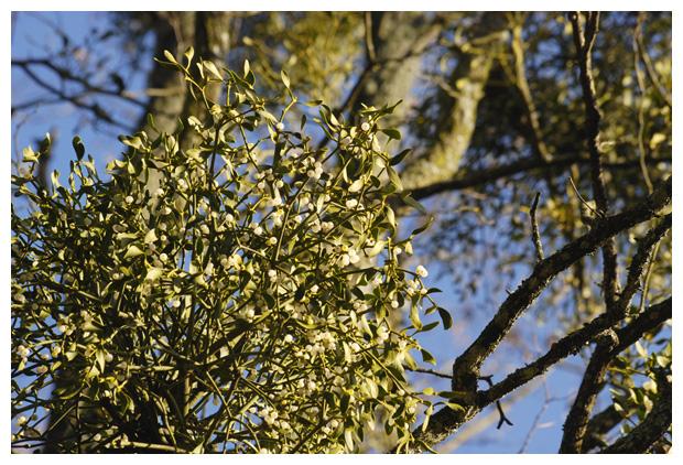 foto's, Maretak (Viscum album), halfparasiet