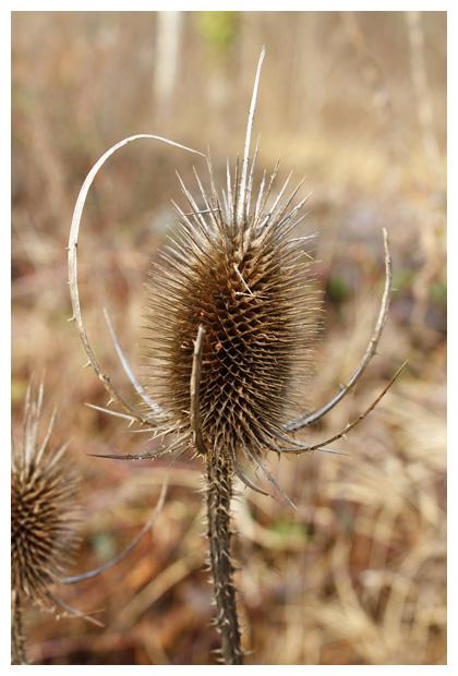 Grote kaardebol, Wilde (Dipsacus fullonum)