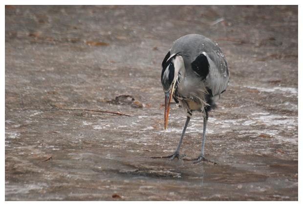 foto´s, Blauwe reiger (Ardea cinerea), vogel