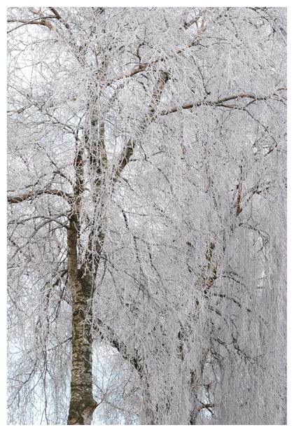 foto's, Ruwe berk (Betula pendula, synoniem: verucosa), boom