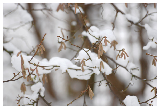 foto's, Hazelaar (Corylus avellana), struik