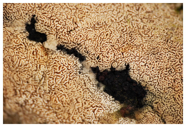 foto´s, Bosnetje (Ceriporia reticulata), zwam
