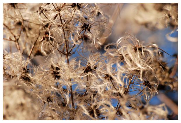 foto's, Bosrank (Clematis vitalba), plant