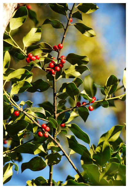 foto's, Hulst (Ilex aquifolium), heester