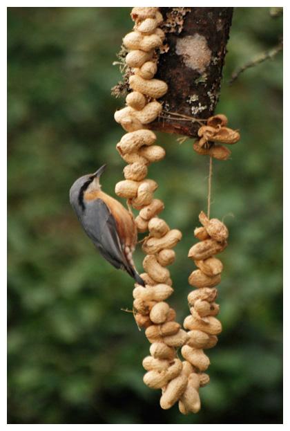 foto´s, Boomklever (Sitta europaea), vogel