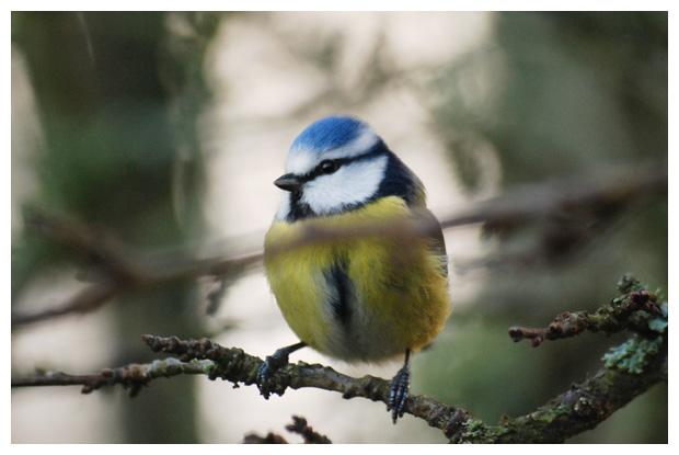 foto's, Pimpelmees (Parus caeruleus), mees