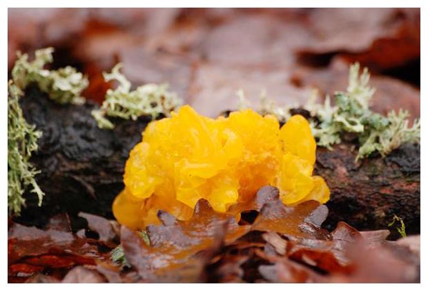 foto's, Gele trilzwam (Tremella mesenterica), paddenstoel