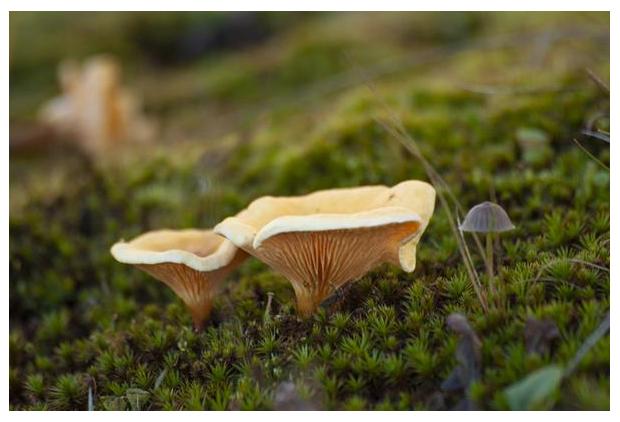 foto´s, Valse hanenkam (Hygrophoropsis aurantiaca), oranje paddenstoel