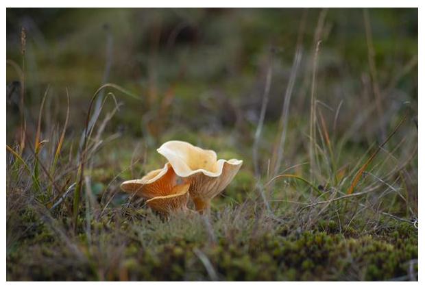 foto´s, Valse hanenkam (Hygrophoropsis aurantiaca), paddenstoel