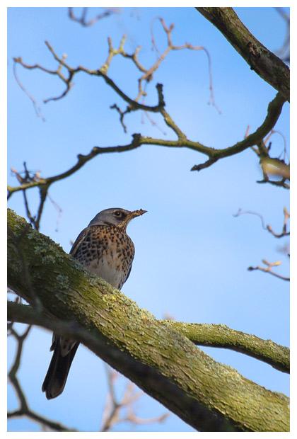 foto's, Kramsvogel (Turdus pilaris), vogel