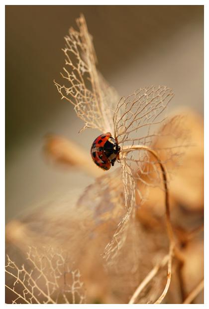 veelkleurig Aziatisch lieveheersbeestje (Harmonia axyridis),  lieveheersbeest, lieveheersbeestjes, lieveheersbeesjesfoto´s, insect, insecten, insectenfoto´s, insekt, insekten, kever, kevers, kevertje, tor, torretje, torren, kapoen, kapoentje, oliebeestje