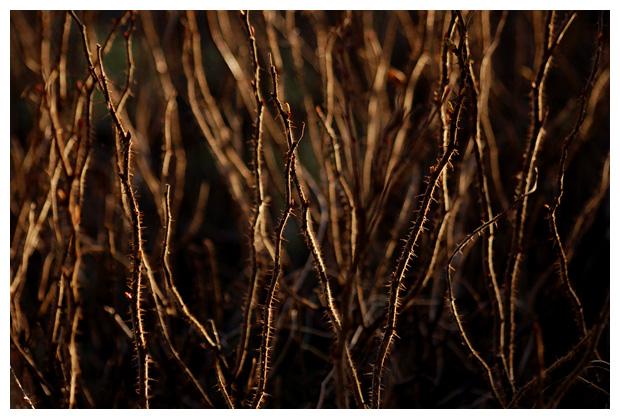 rimpeleroos, bottelroos, botanische, wilde roos (rosa rugosa), rimpelerozen, rimpeleroosje, rimpeleroosjes, rimpeleroosfoto´s, rozen, roosje, roosjes, rozenfoto´s, rose, rozenfamilie (rosaceae), bloem, bloemen, bloemenfotos, bloemenfoto´s, struik, struiken, struikje, struikjes, plant, planten, plantenfotos, plantenfoto´s, vast, vaste, vasteplant, vasteplanten, sierplant, sierplanten, sierplantje, sierplantjes