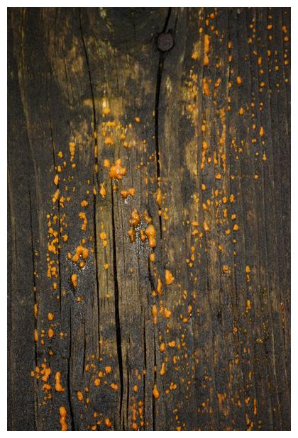 foto´s, Oranje druppelzwam (Dacrymyces stillatus), paddenstoel