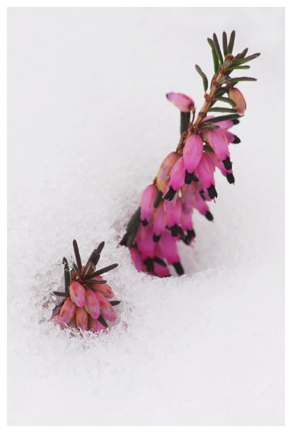foto´s, Rode winterheide (Erica carnea), heide