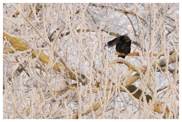 foto´s, zwarte kraai (corvus corone)