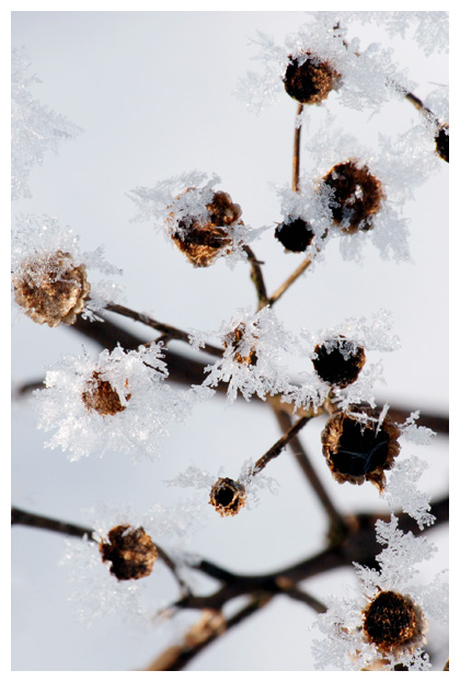 foto's, Duinkruiskruid (Jacobaea vulgaris subsp. dunensis), plant
