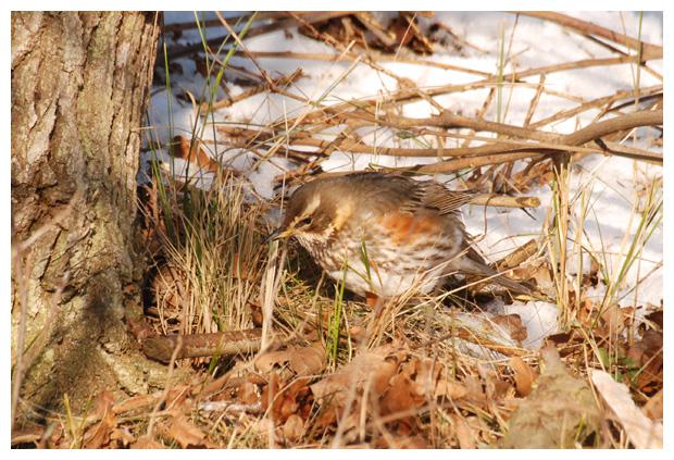 foto's, Koperwiek (Turdus Iliacus), lijster