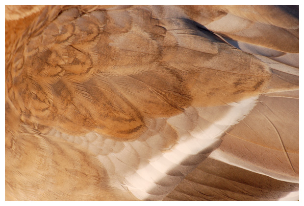 foto´s, Wilde eend (Anas platyrhynchos)