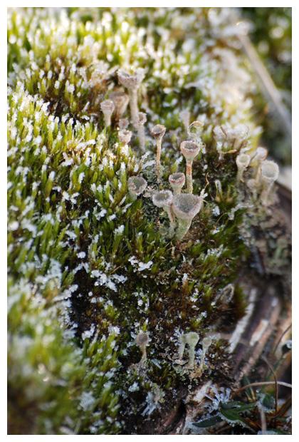 foto´s, Kopjes-bekermos (Cladonia fimbriata), korstmos