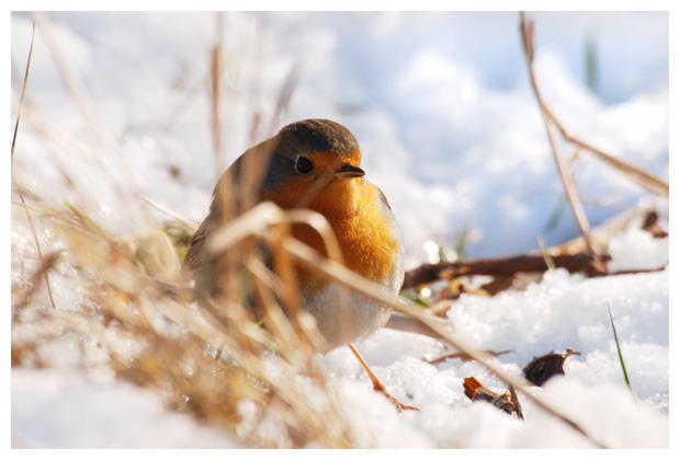 foto's, Roodborst (Erithacus rubecula), vogel