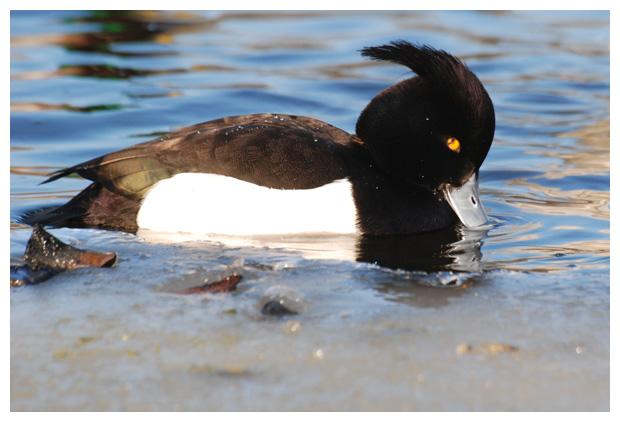 foto's, Kuifeend (Aythya fuligula), eend