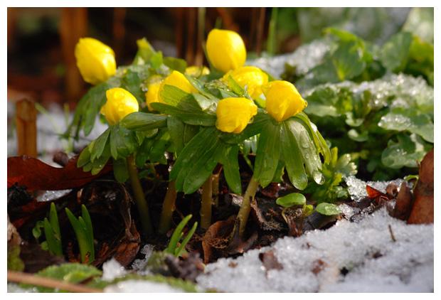 foto's, Winterakoniet (Eranthis hyemalis), plant
