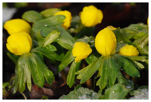 foto's, Winterakoniet (Eranthis hyemalis), tuinplant