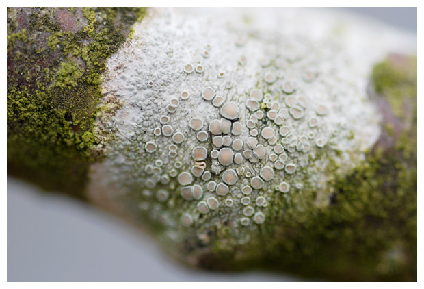 foto's, Witte schotelkorst (Lecanora chlarotera), korstmos