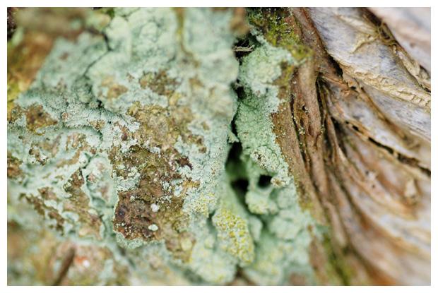 foto´s, Gewone poederkorst (Lepraria incana), korstmos